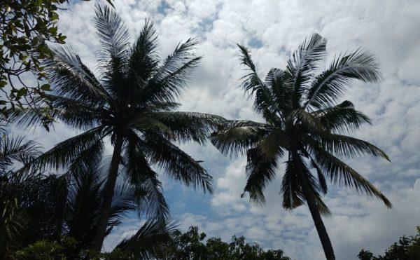 ココナッツの木2本